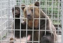 У львівському ресторані продовжують мучити ведмедя