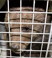 Напад ведмедів чи звичайне бракон'єрство?