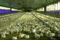 chikenfarm2